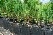 Cypress tree nursery — Stock Photo