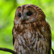 Brown Owl — Stock Photo