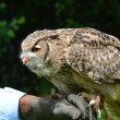 Owl perching — Stock Photo