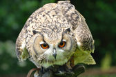 Crouched owl — Stock Photo