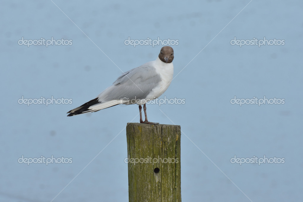 Gull on post looking at camera — Stock Photo #11840908