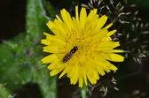 Hoverfly on yellow flower — Stock Photo