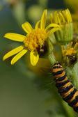 Cinnarbar caterpillar in close up — Stock Photo