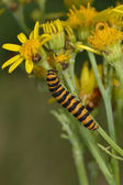 Cinnabar moth feeding on ragwort — Stock Photo
