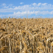 Field of wheat — Stock Photo #12196883