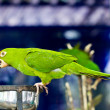 Portrait of green  parrot bird - Stock Photo