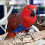 Papagaio-ecletus fêmea — Foto Stock