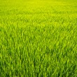 Paddy field - Photo