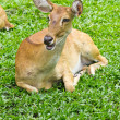 Portrait of beautiful deer — Stock Photo #11269154