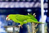 Portrait of green parrot bird — Stock Photo