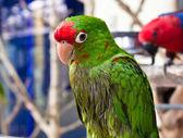 Green parrot bird — Stock Photo