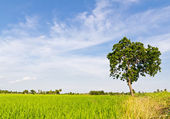 Tree in paddy field — Stock Photo