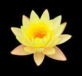 Yellow lotus isolated — Stock Photo