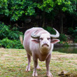 Albino buffalo — Stock Photo #11270649