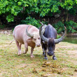 Albino and thai buffalo — Stock Photo