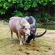 Albino buffalo — Stock Photo #11270972