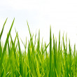 Fresh spring green grass — Stock Photo #11274395
