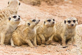 Portrait of meerkats — Stock Photo
