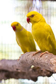 Ring necked parrot — Stock Photo