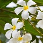 White frangipani plumeria flower — Stock Photo #12020458