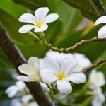 White frangipani plumeria flower — Stock Photo #12020896