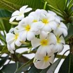 White frangipani plumeria flower — Stock Photo #12020922