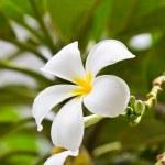 White frangipani plumeria flower — Stock Photo #12022335