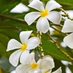 White frangipani plumeria flower — Stock Photo #12022359