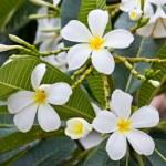 White frangipani plumeria flower — Stock Photo #12023268