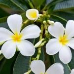 White frangipani plumeria flower — Stock Photo #12023296