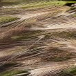 Stock Photo: Ears of grain