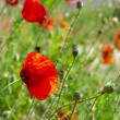 The wild poppies in the grass — Stock Photo