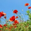 The wild poppies and the blue sky — Stock Photo