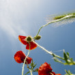 The wild poppies grow to a blue sky — Stock Photo