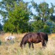 Grazing horses — Stock Photo #12247100
