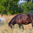 Royalty-Free Stock Photo: Grazing horses