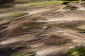 Ears of grain — Stock Photo