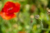 The wild poppy's box — Stock Photo