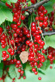 Branch of red currant on bush — Stock Photo
