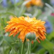 Calendula — Stock Photo #12185314