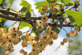 White currant — Stock Photo