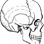 Human skull — Stock Vector #11532834