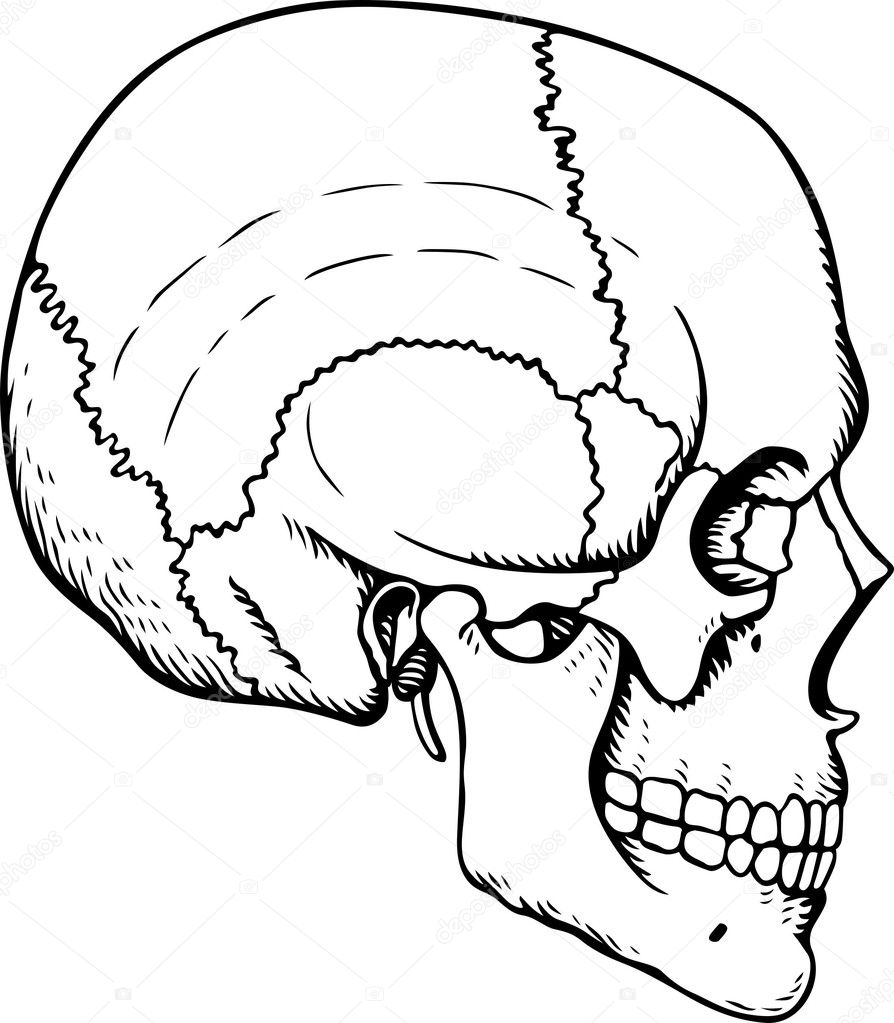 Human skull on white background — Stock Vector #11532834