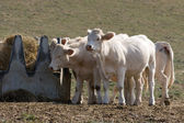 Cows eating — Stock Photo