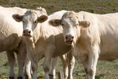 Two cows looking curious — Stock Photo