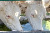 Vacas bebendo — Fotografia Stock