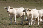 Cows looking at the front — Stock Photo