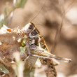Grasshopper sitting on a flower — Stock Photo
