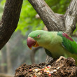 Green Parrot Bird — Stock Photo