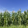 Field of corn growing and blue sky — Stock Photo